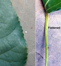 leaf margin and petiole