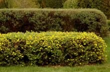 plant habit, flowering hedge