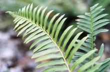 """fronds (""""leaves"""")"""