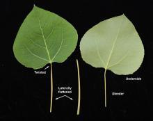 leaf, petiole