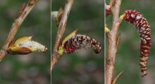 emerging male (pollen) catkins, spring
