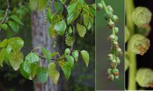 leaves and female (seed) catkins