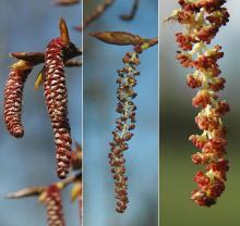 expanding male (pollen) catkins