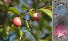 fruit, summer