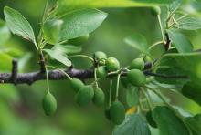 developing fruit, late spring
