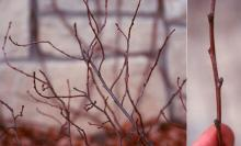 winter plant habit and twig, buds