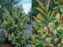 plant habit, flowering, and flowering shoot
