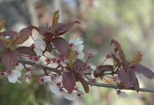 leaves at petal fall
