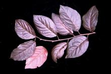 leafy shoot, July