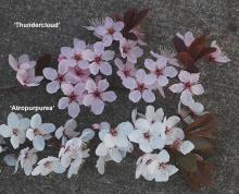 flowering branches, comparison