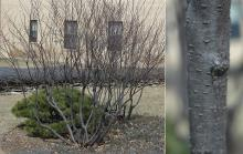 plant habit and bark, winter