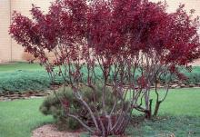 plant habit, larger shrub