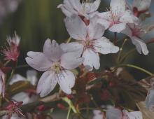 flowers, near end of bloom
