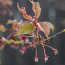 new leaves at petal drop