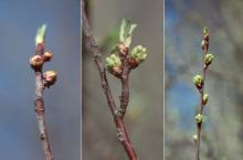 opening buds