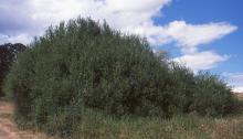 plant habit, thicket, summer