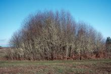 plant habit, thicket, winter