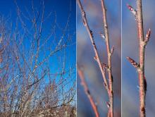winter branches, twigs and buds