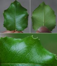leaf, shady site