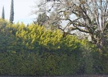 hedge that turned into a tall screen