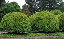 plant habit, sheared