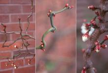 branches and flower buds, winter
