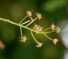 after petal drop, young fruit