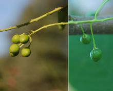 fruit, unripe