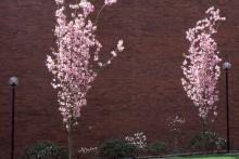 plant habit, young trees flowering