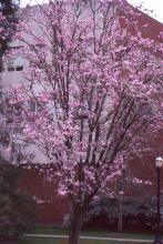 plant habit, older tree flowering