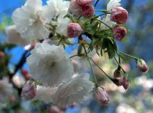 pink buds and white flowers