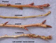twigs and buds, comparison