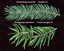 branchelets, comparison