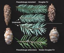 branchlets and cones, comparison