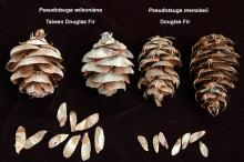 dry cones and seeds, comparison