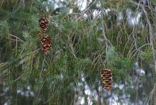 branchlets with cones