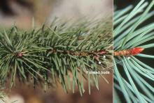 branch, buds, needles