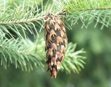 mature cone