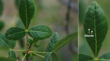 leaf and leaflet