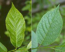 leaf, expanding and mature