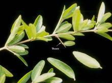 leafy shoot