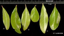 leaves (U = underside)