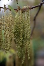 male catkins