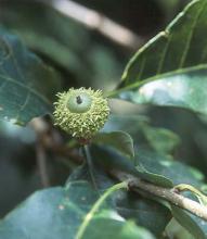 developing acorn