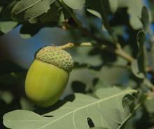 developing fruit (acorn)