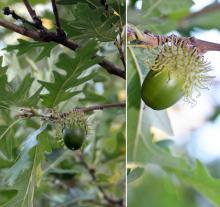 maturing acorn, September
