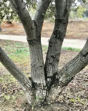 multi-trunked, bark (about 20 years old) (S. Ruettgers)