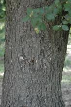older tree, trunk, bark