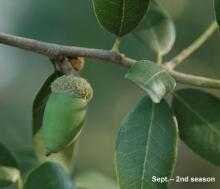 ripening fruit