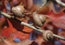 fruit (acorns)